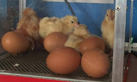 Saint Ethelbert's Chicks Hatch!